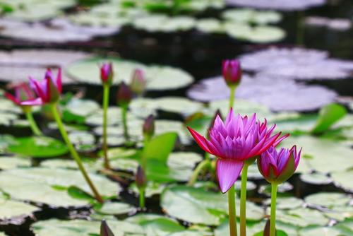 pink lotus in pond shutterstock_129435311