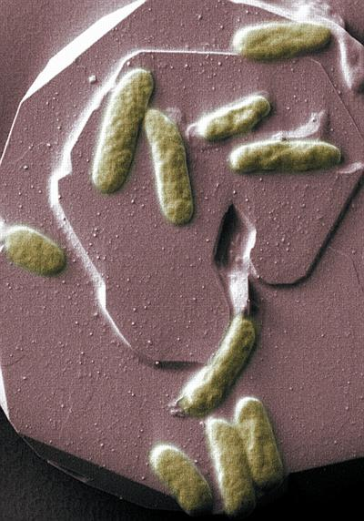 Scientists at the University of East Anglia have made an important breakthrough in the quest to generate clean electricity from bacteria. New findings show that proteins on the surface of bacteria can produce an electric current by simply touching a mineral surface. The research shows that it is possible for bacteria to lie directly on the surface of a metal or mineral and transfer electrical charge through their cell membranes. This means that it is possible to