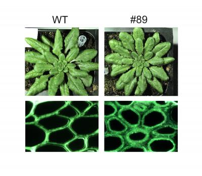 Genetically engineered Arabidopsis plants (#89) yielded as much biomass as wild types (WT) but with enhanced polysaccharide deposition in the fibers of their cell walls. Credit: (Image courtesy of JBEI)