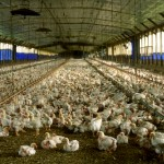 A commercial meat chicken production house in Florida. Photo credit: Wikimedia Commons