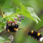 Leading conservation and science voices asked the U.S. secretary of agriculture to take action on a petition to regulate the movement of commercial bumble bees to help control the spread of parasites and pathogens to wild bumblebees. Photo courtesy of Shutterstock