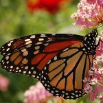 Milkweed is the only place where monarch butterflies will lay their eggs. Photo credit: Wikimedia Commons