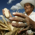 A man picks corn in Mexico. Photo courtesy earthfirstjournal.org