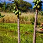 papaya-farm