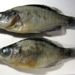 ncfish